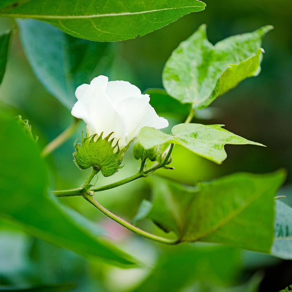 Ammonium sulfate is a necessary component to healthy cotton crop development.