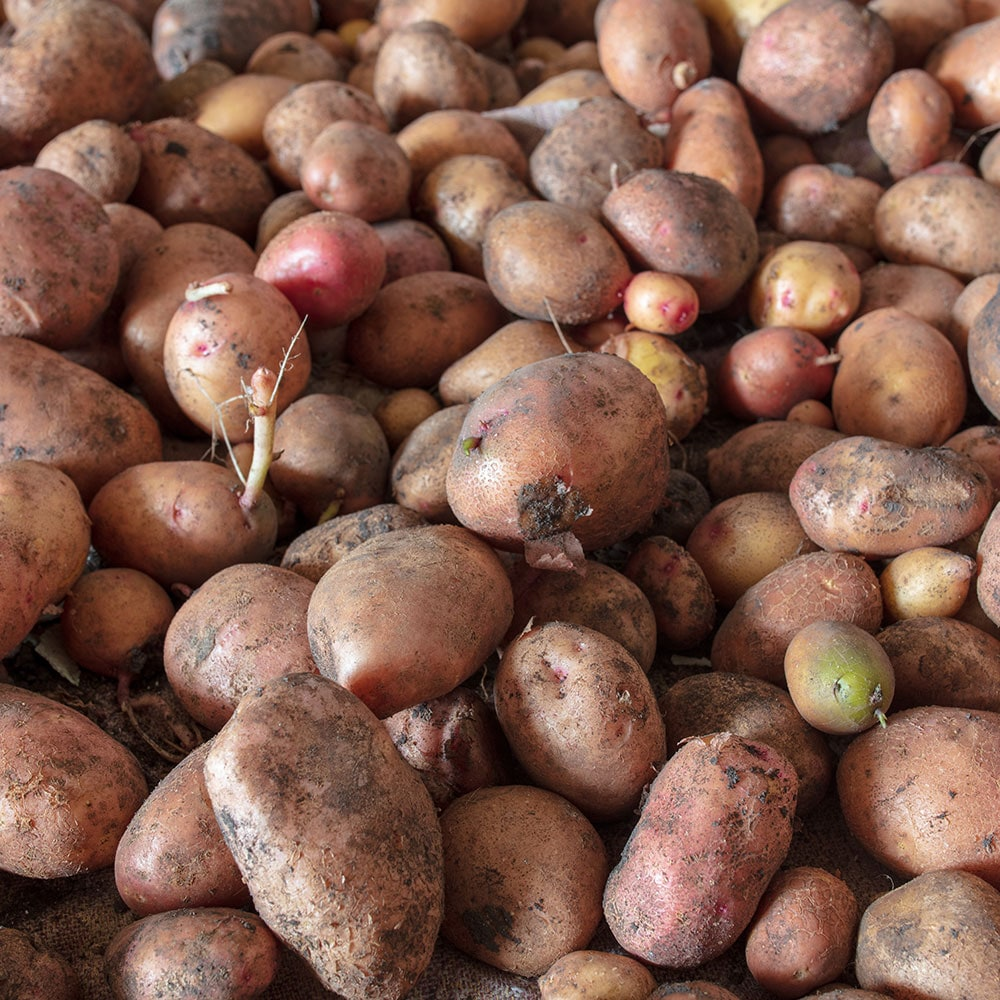 Ammonium sulfate is a necessary component to healthy potato crop development.