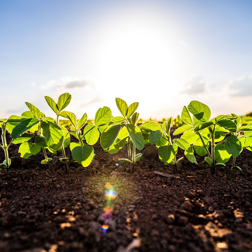 Soybean seedlings thrive in nutritious soil fertilized with ammonium sulfate.